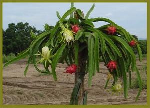 Dragon Fruit Fruit_02 emeraldgoddessgardens com