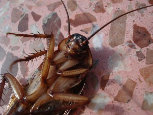 cockroach-15093_1280